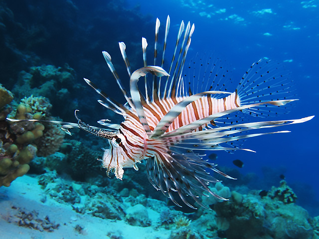 Lionfish at Tiger Reef Dive Site in Tioman