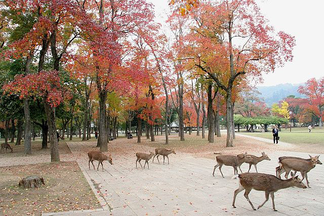 Nara Park with freely roaming deers