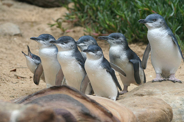 Penguin Parade at Phillip Island, Australia